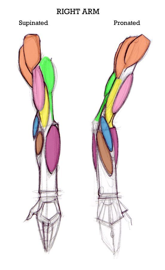 Arm muscles. | Anatomy: Shoulder & Arm | Pinterest | Anatomy ...