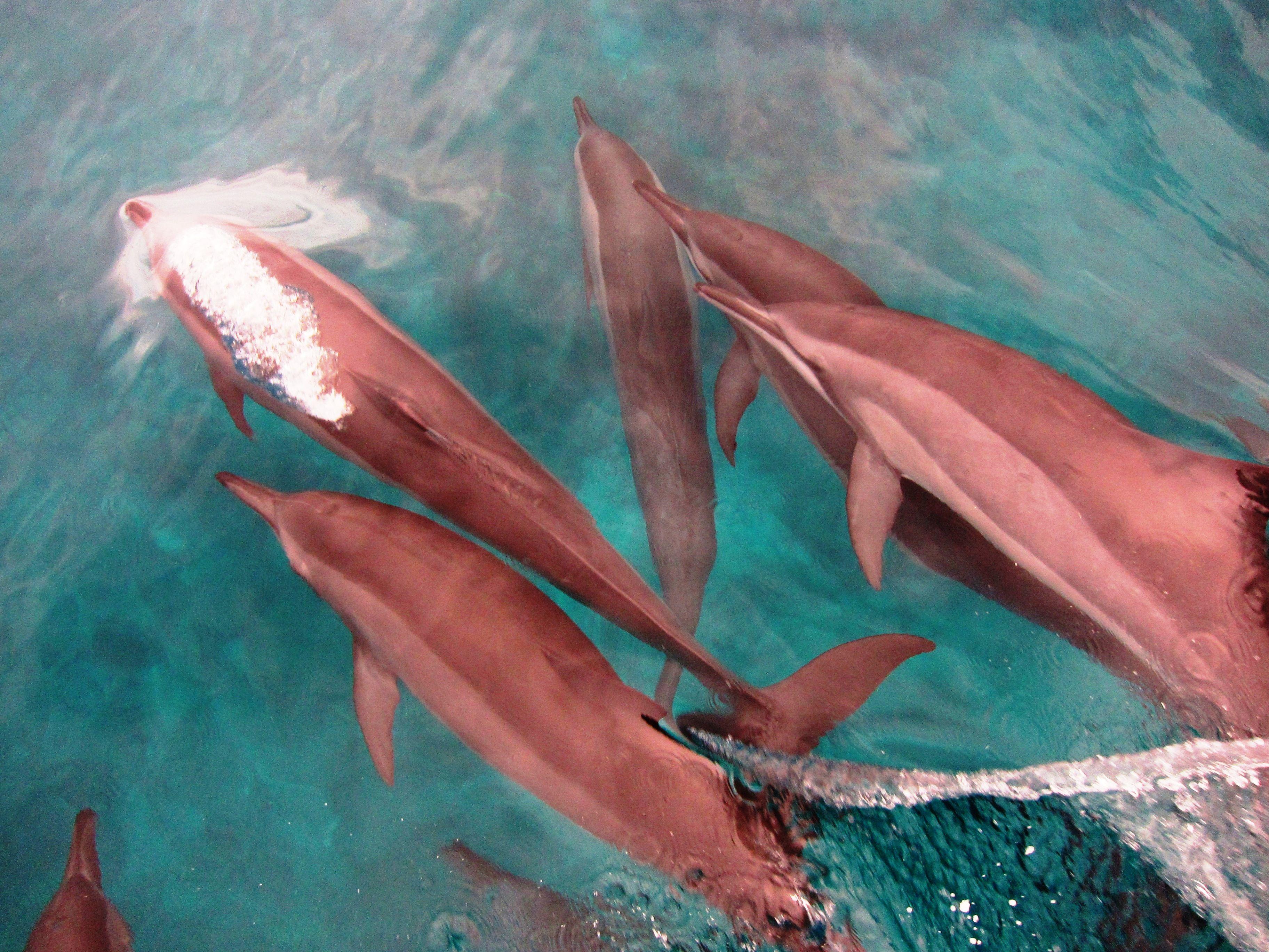 27 Settembre 2013 Nuotando Con I Delfini Maldive Delfini