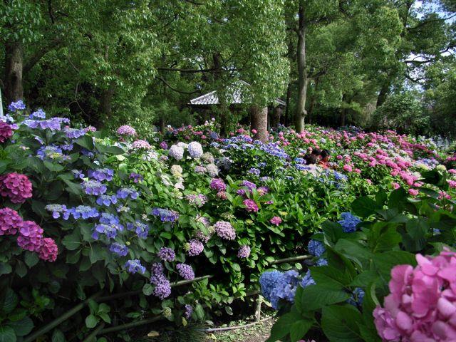hydrangea gardens images   伏見方面を車で走っていて、「あっ、そうだ!」と ...