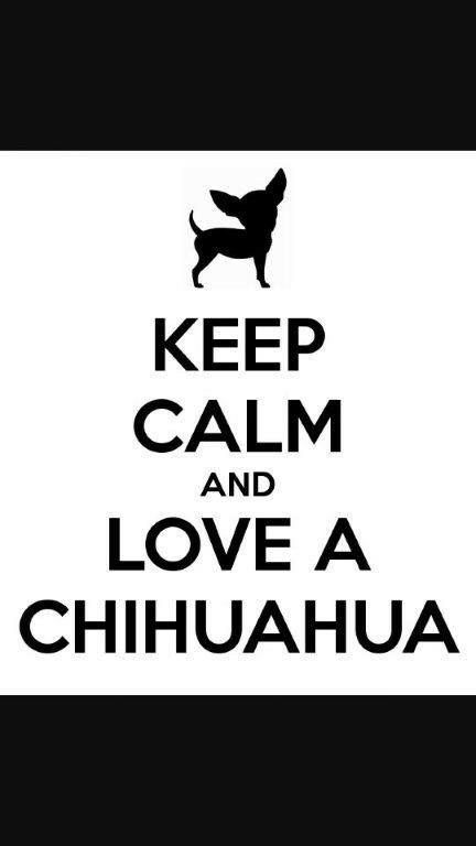 Pin by Teresa Callicoat on Chihuahua (With images