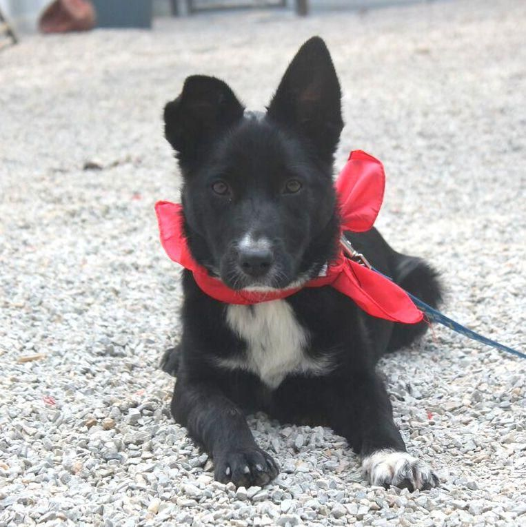 Adopt Aloia On Cute But Can T Border Collie Mix Puppies