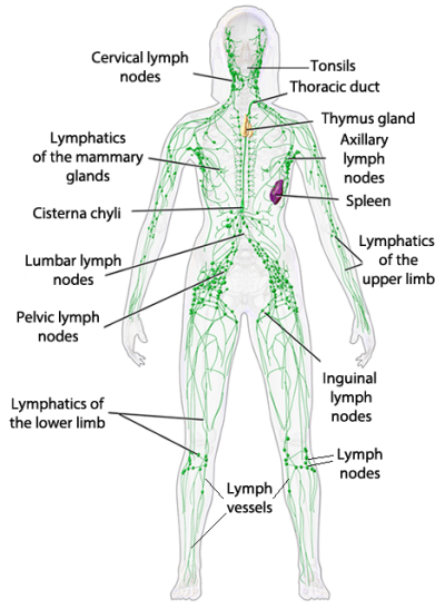 Lymphatic System The Simple Health Advocate Lymphatic System Lymphatic Drainage Lymphatic