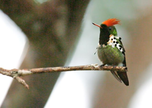 Dot-eared Coquette, Lophornis gouldii: Bolivia/ Brazil