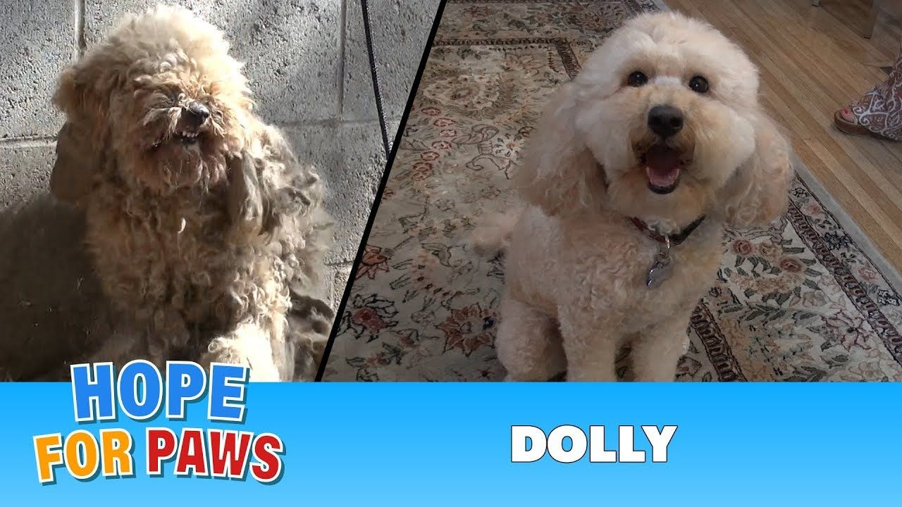 Hope For Paws A Severely Matted Poodle Gets Rescued And Then