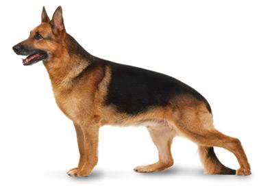 German Shepherd Breed Information German Shepherd Veterinarians In Austin Tx Dog Care German Shepherd Dog Breeds