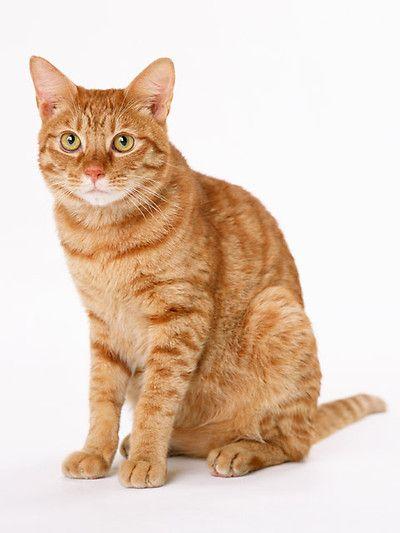 Orange Cat Pictures : orange, pictures
