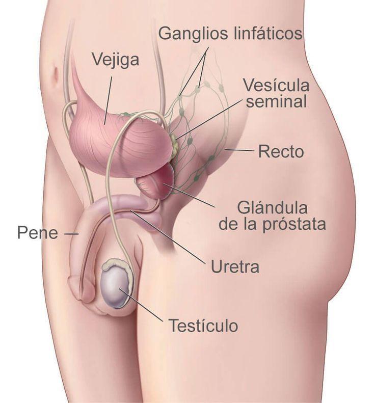 Resultado de imagen de anatomia masculina | Healthey | Pinterest ...