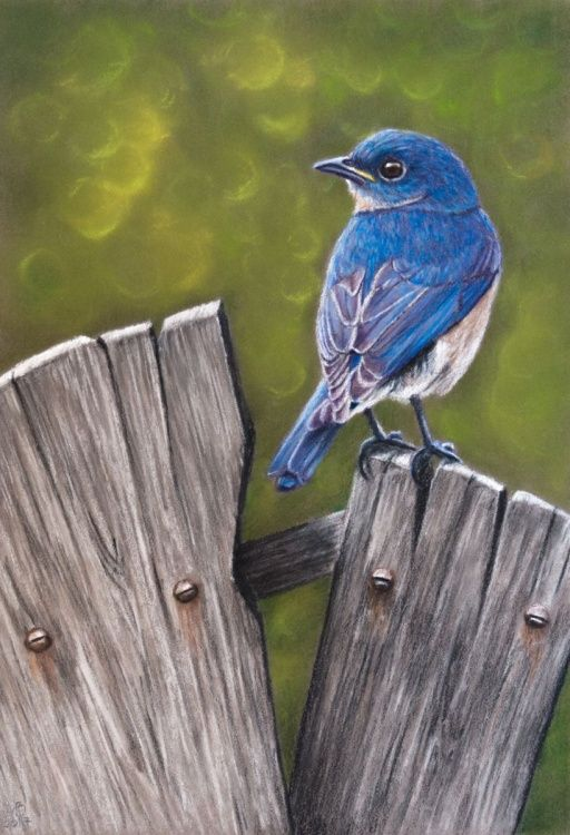 original pastel drawing eastern bluebird