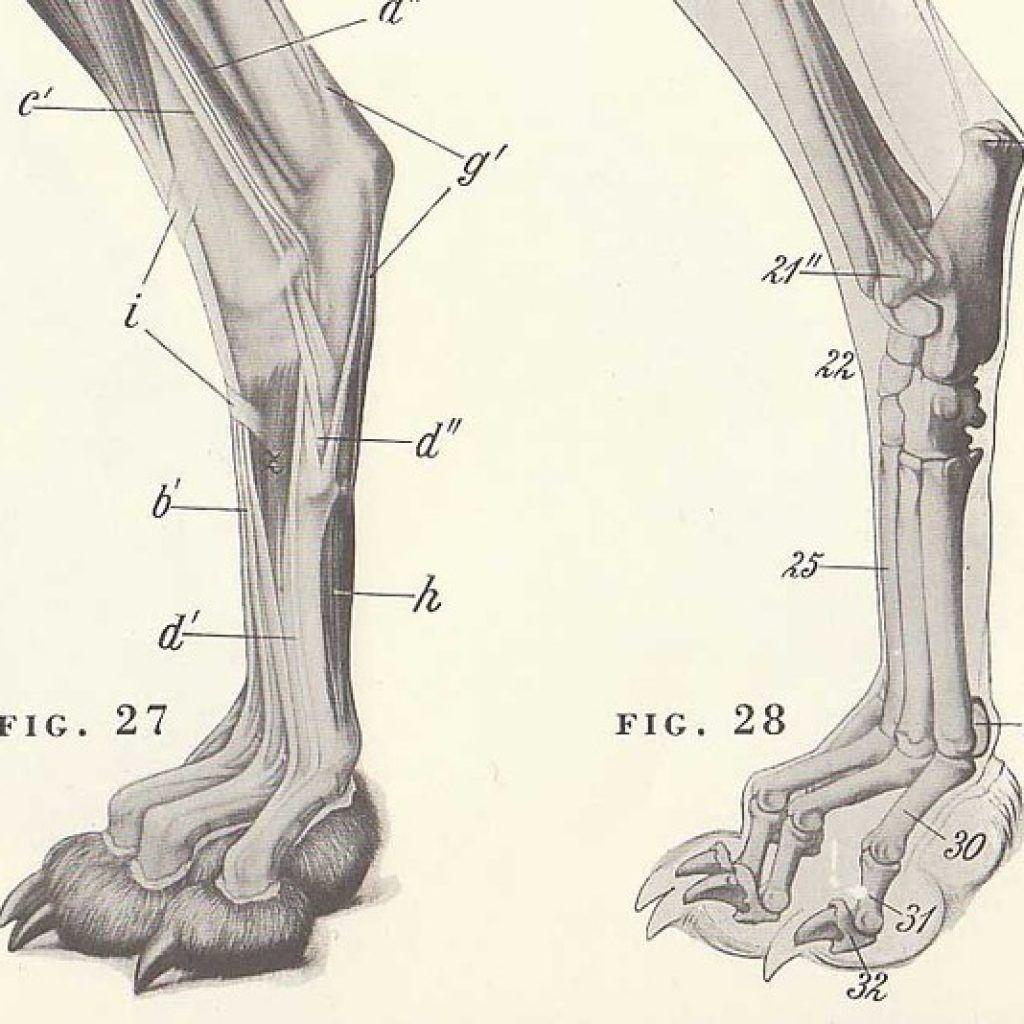 Dog Paw Anatomy   ANATOMY   Pinterest   Dog paws, Anatomy and Human ...