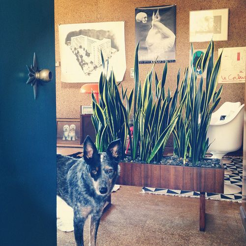 Australian cattle dog/heeler with sansevieria