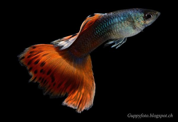 F1 Moscow Male X Fullred Female Guppy Guppy Guppy Fish