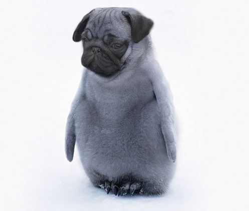 Pug Penguin Pugs Funny Photoshopped Animals Pugs