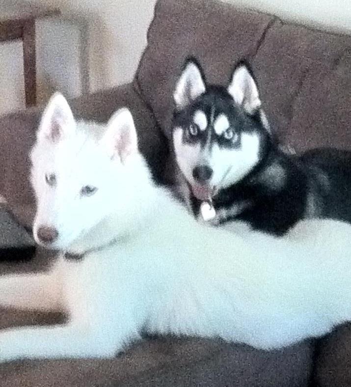 Husky Perfect Ghost And Kili Right There Siberian Husky Husky