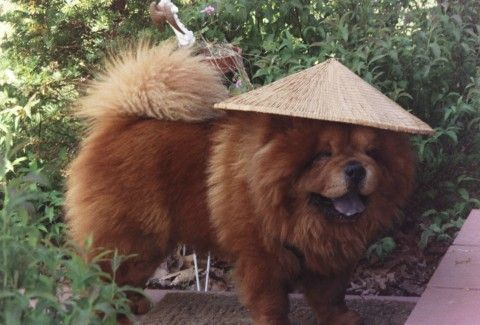 The Dog Is Wearing A Unique Hat Chow Chow Dog Puppy Dogs Chow