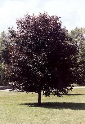 Marshall Trees Nursery Trees Crimson King Maple Tree With Purple Leaves Garden Trees Drought Tolerant Trees