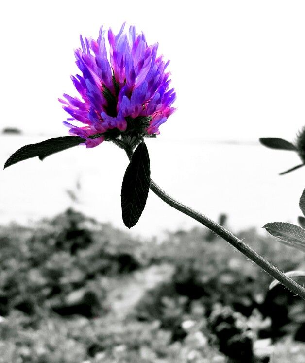 Purple flower with black and white background | my photography edits ...