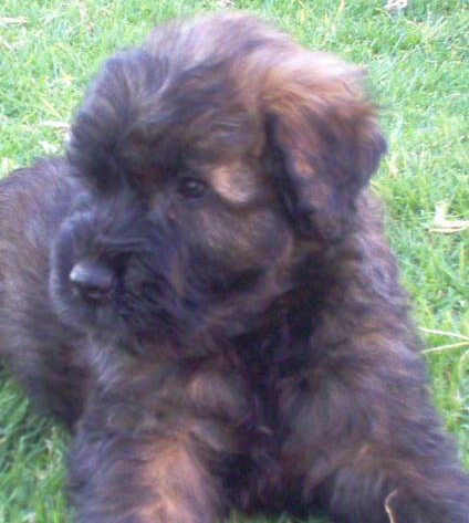 Fluffy Brindle Bouvier Bouviers Des Flandres Dogs Brindle