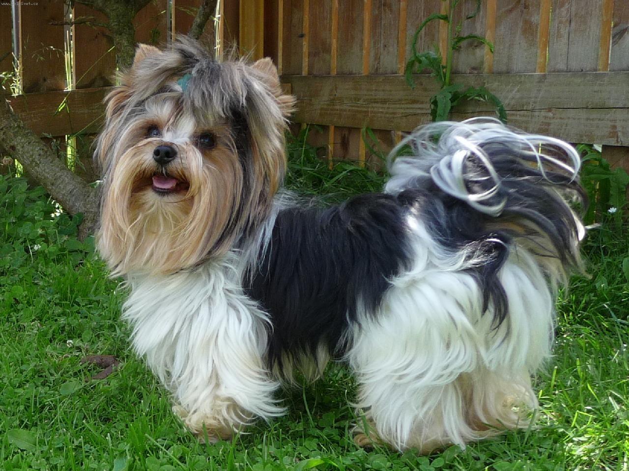 D 169 Biewer Yorkie Terrier Biewer Terrier Yorkshire Terrier Hayvanlar
