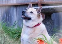 Ashley - Belgian Shepherd Dog Sheepdog