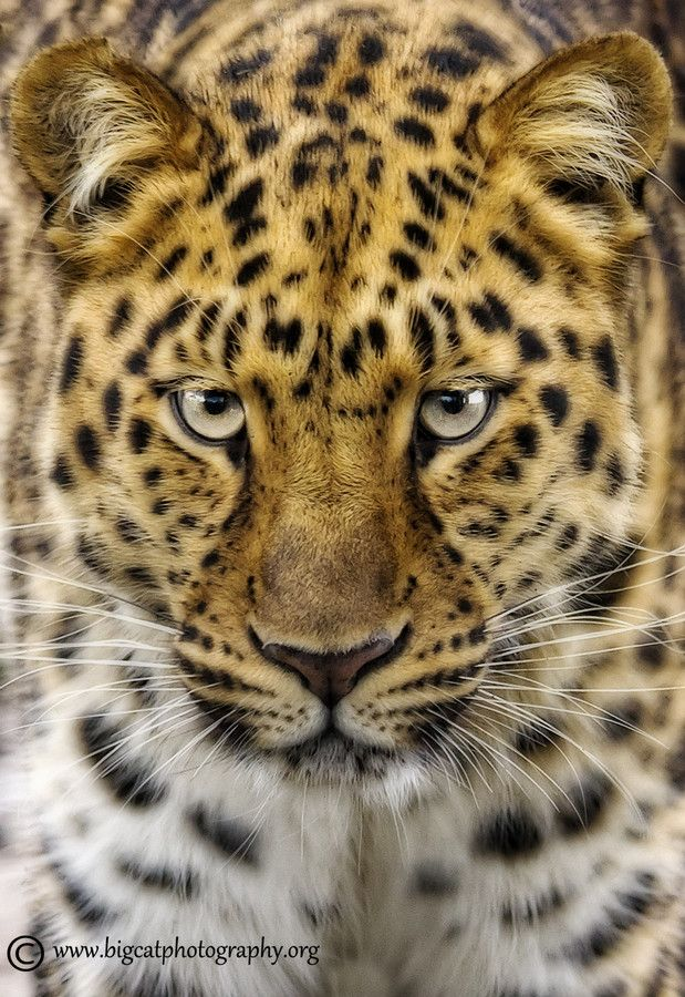 Elegance Beauty por bigcatphotos UK Animals beautiful