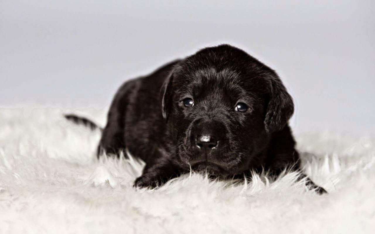 Cute Black Labrador Retriever Puppies Pictures Pictures Puppies Pictures Of Puppies Black Labrador Retriever Labrador Retriever Puppies Labrador Retriever