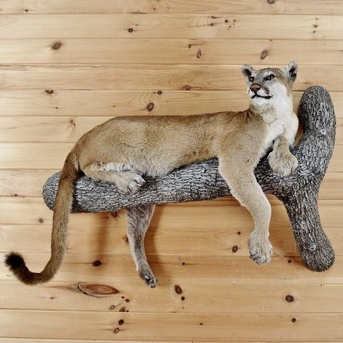 Mountain Lion Taxidermy Mount - Cougar - SW2514 | corner in