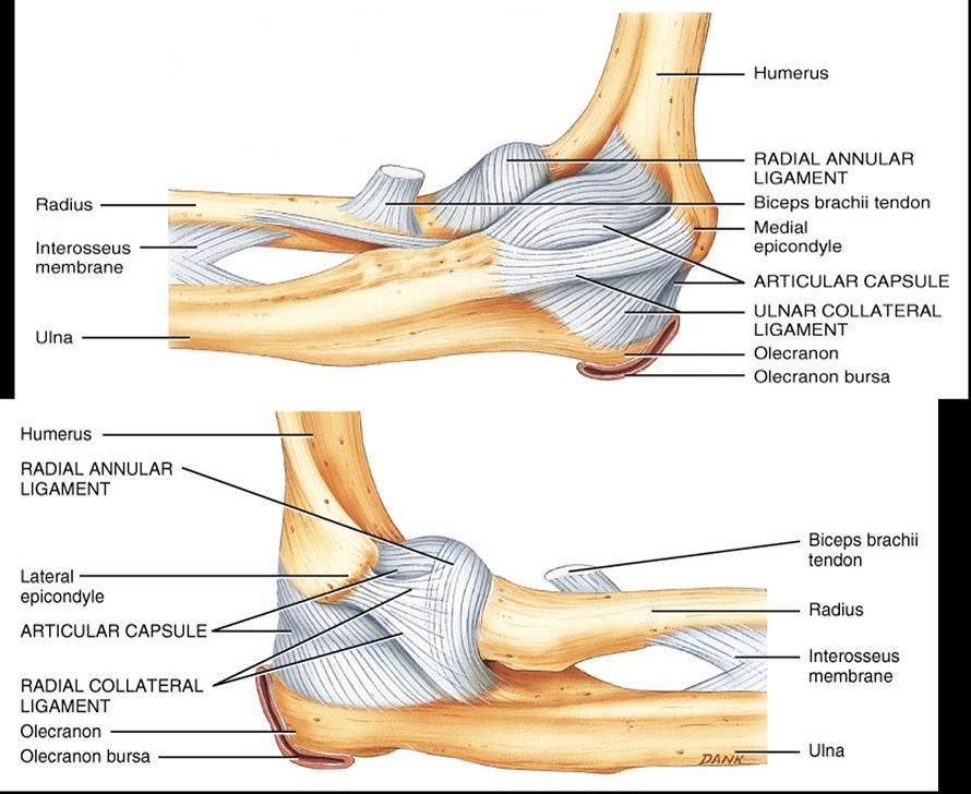 Elbow Ligaments Radial Collateral A And P Ulnar Collateral A P