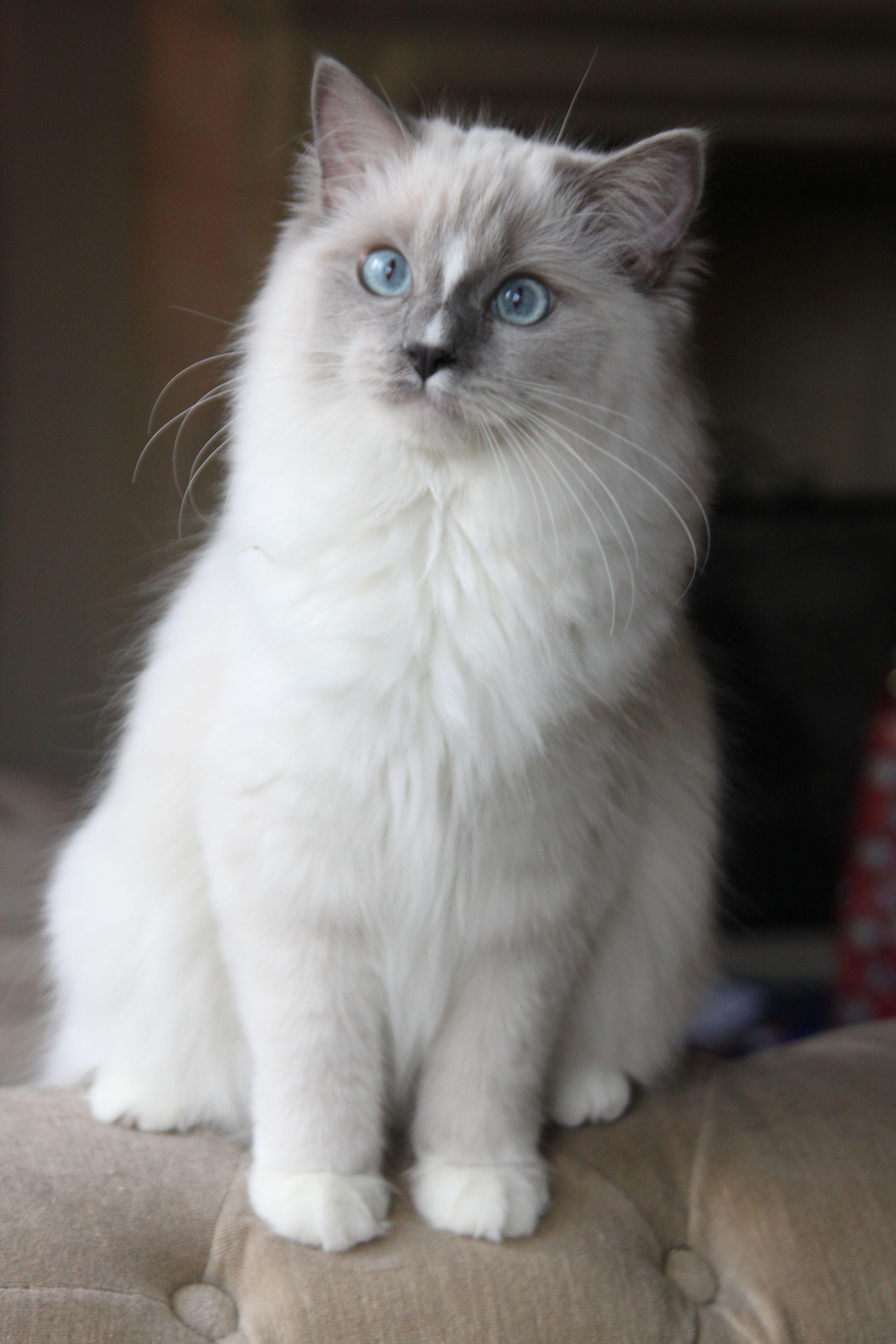 Pin On Ragdoll Kitties