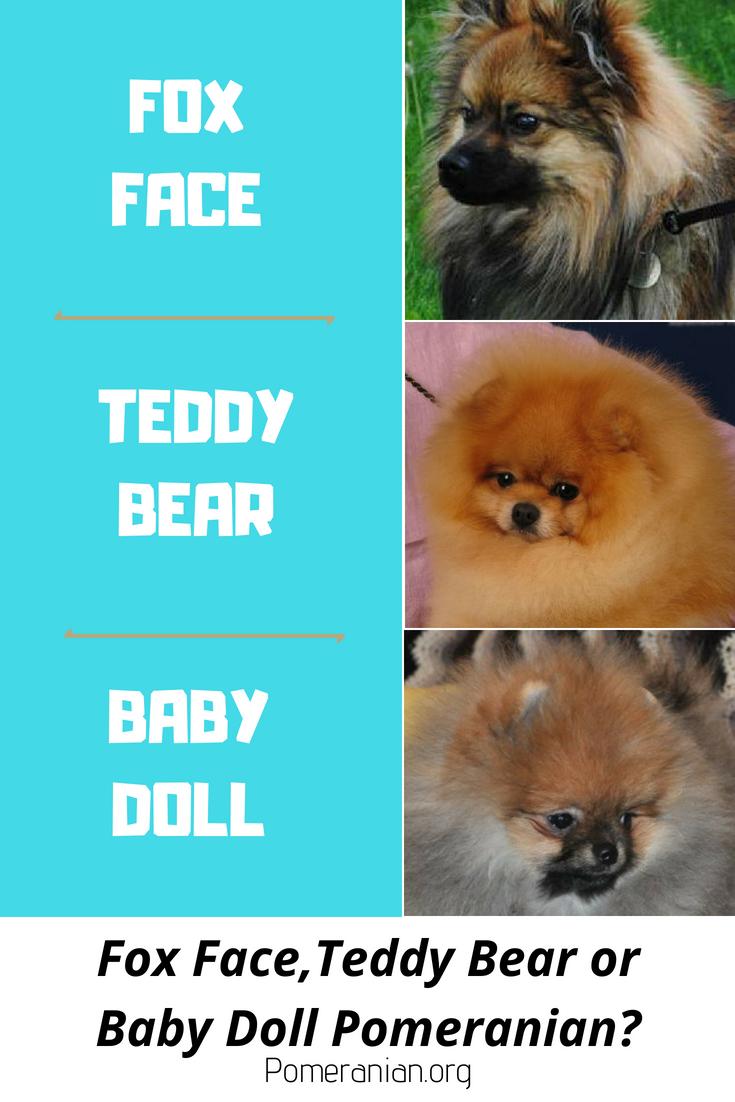 Pomeranian Faces Teddy Bear Pomeranian Baby Doll Pomeranian Or Fox Face Pomeranian Teddy Bear Pomeranian Pomeranian Facts Fox Face