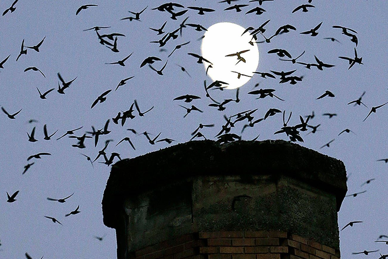 You can watch thousands of Vaux's swifts funnel into a