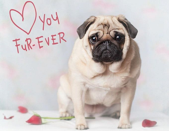 Pug Valentine Pug Valentine Pugs