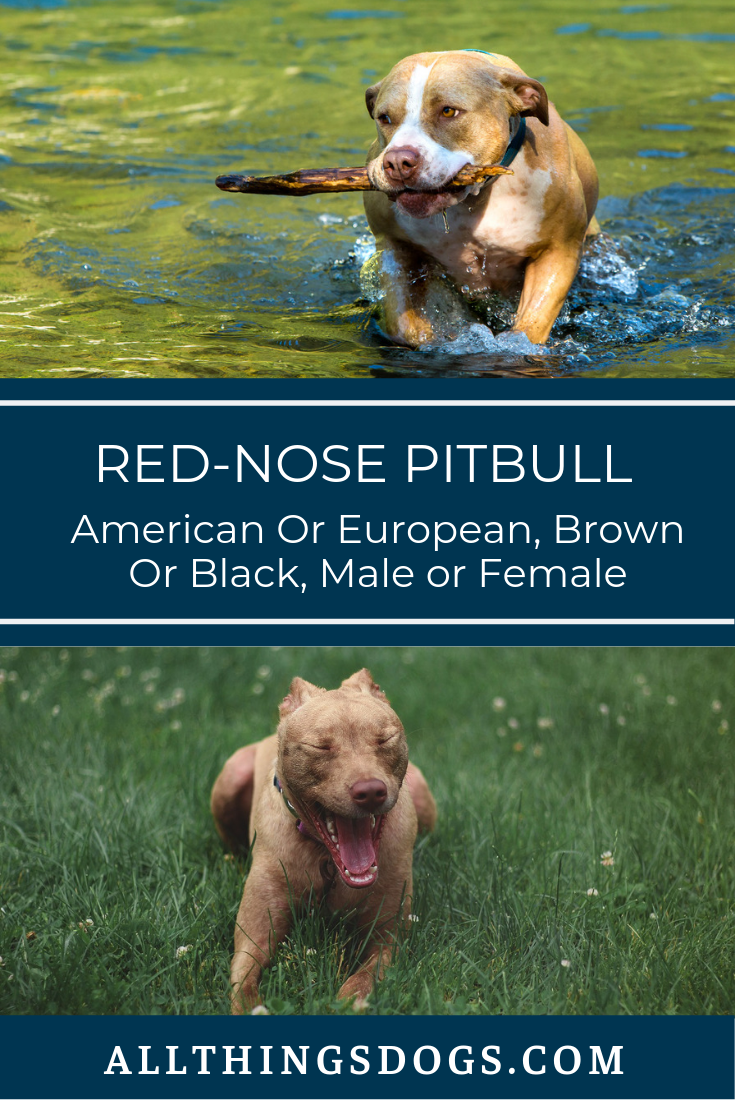 Red Nose Pitbull American Or European Brown Or Black Male Or Female Red Nose Pitbull Pitbulls Pitbull Dog Breed