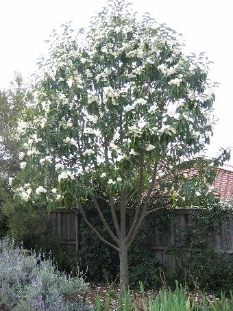 The Magnolia Is A Flowering Tree Common To The Southern U S