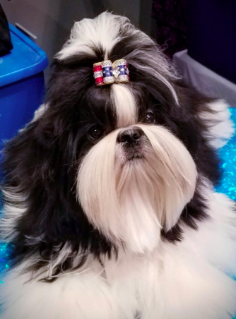 Good Breeder Jocar Shih Tzu Shih Tzu Dogs Best Dogs