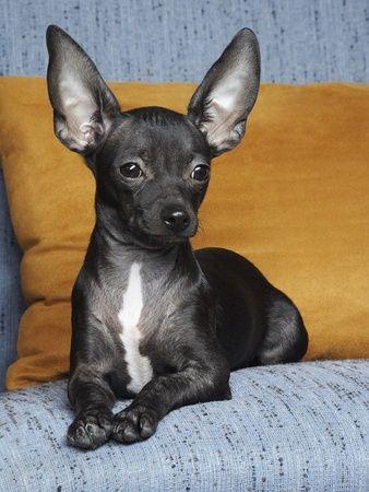 Types Of Chihuahuas Apple Head Deer Head Chihuahua Quick