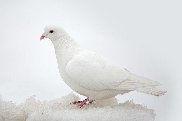 White On White White Pigeon White Doves Simply White