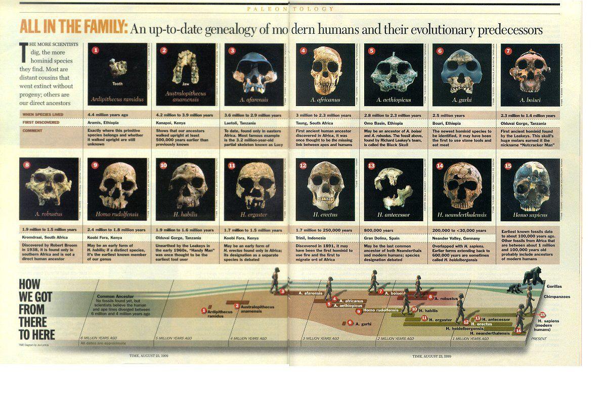 Transitional Fossils Of Hominid Skulls