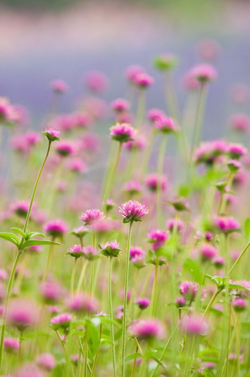 Globe amaranth/just discovered this plant last summer. great plant-annual that I am hoping will reseed, but globe amaranth hasn't done that for me before.