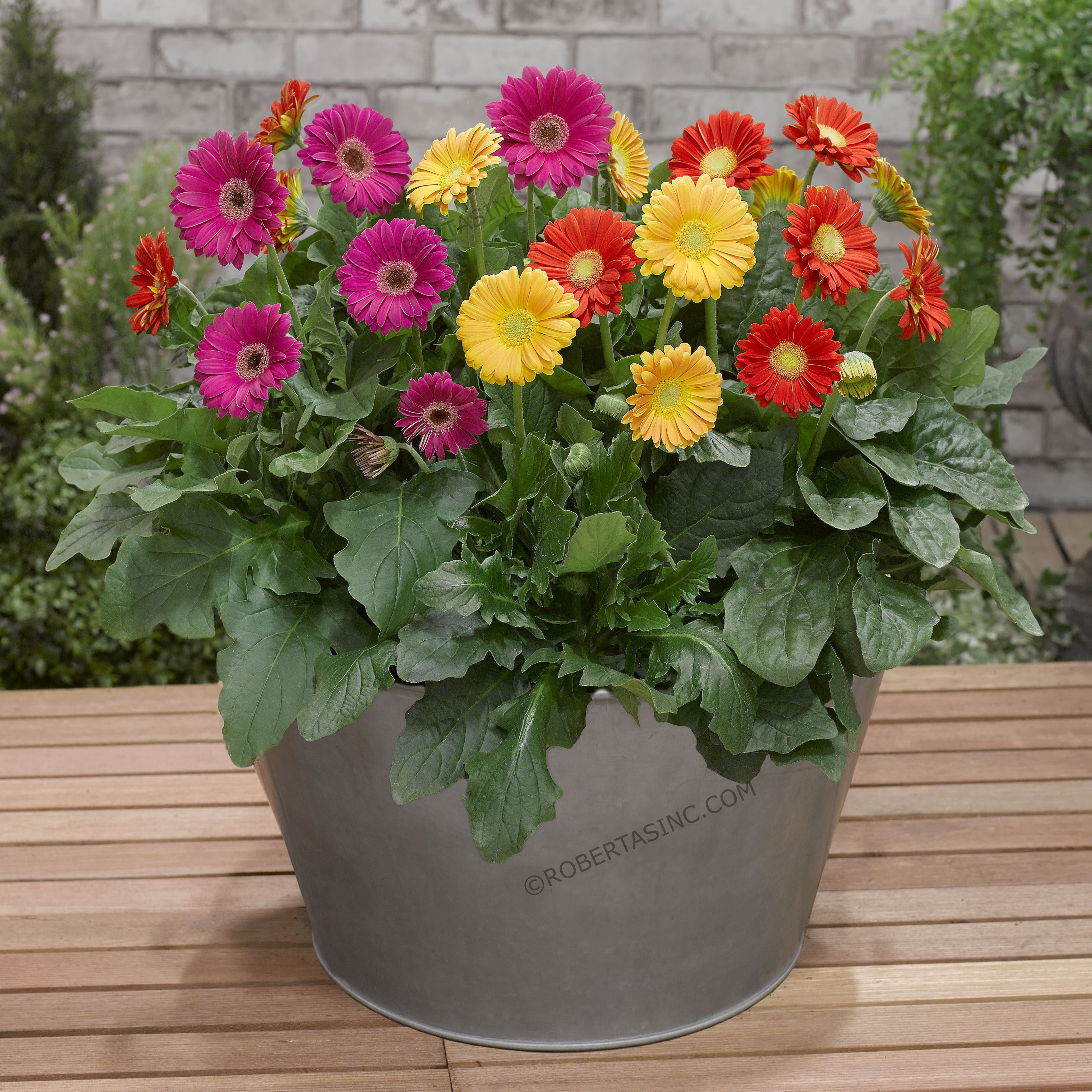 Sweet Series Garvinea Hardy Gerber Daisies 4 Pc Gerbera Flowers Perennials Gerbera Flower