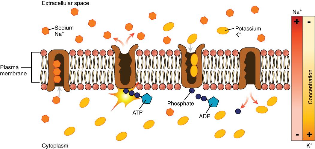 Sodium-potassium pump illustration (Openstax, Anatomy & Physiology ...
