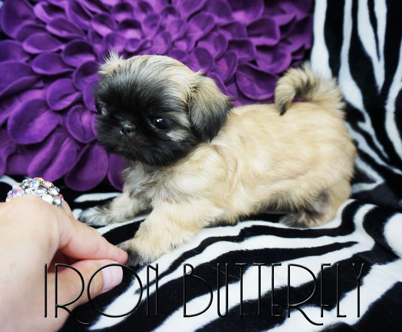 Quality Chinese Imperial Shih Tzu And Tiny Teacup Puppies For Sale Here Health Sweet Temperament And St Teacup Puppies For Sale Shih Tzu Puppy Teacup Puppies