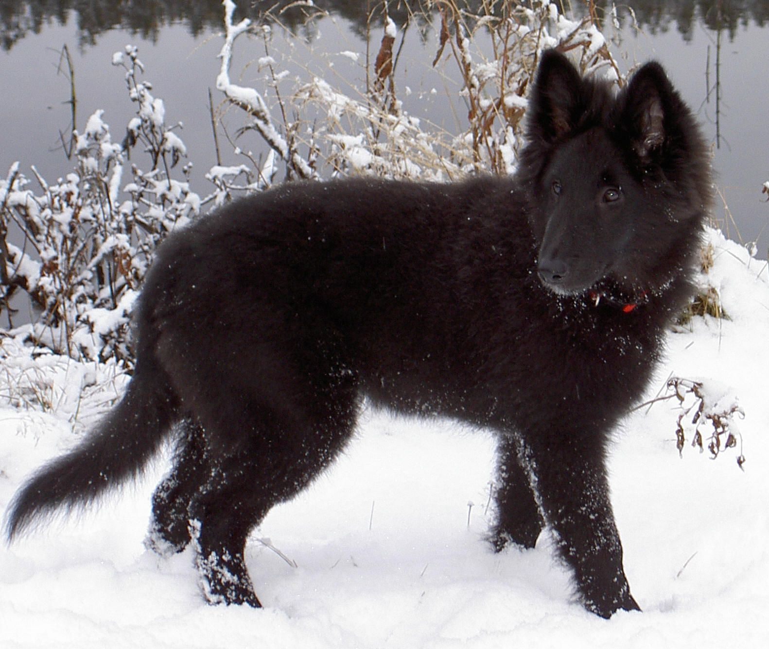 Pin By Tiina Rossi On Groenendael German Shepherd Dogs Shepherd Dog Belgian Shepherd
