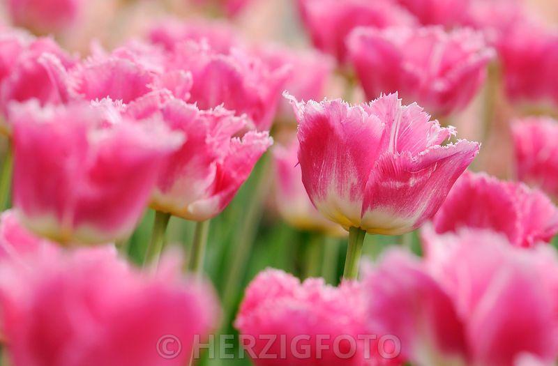 "Tulipa ""Dallas""- Tulpe"