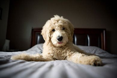 Puppy Golden Doodle Interesting Fact No Two Doodles Will Look
