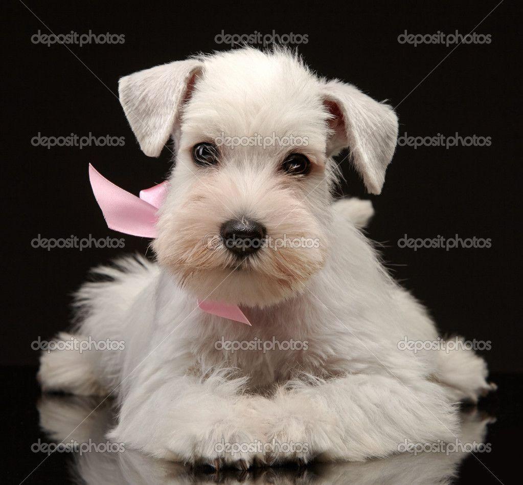 Perro schnauzer blanco bebe