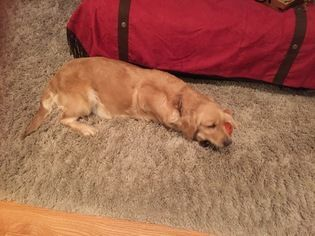 Golden Retriever Puppy For Sale In Richland Mo Usa