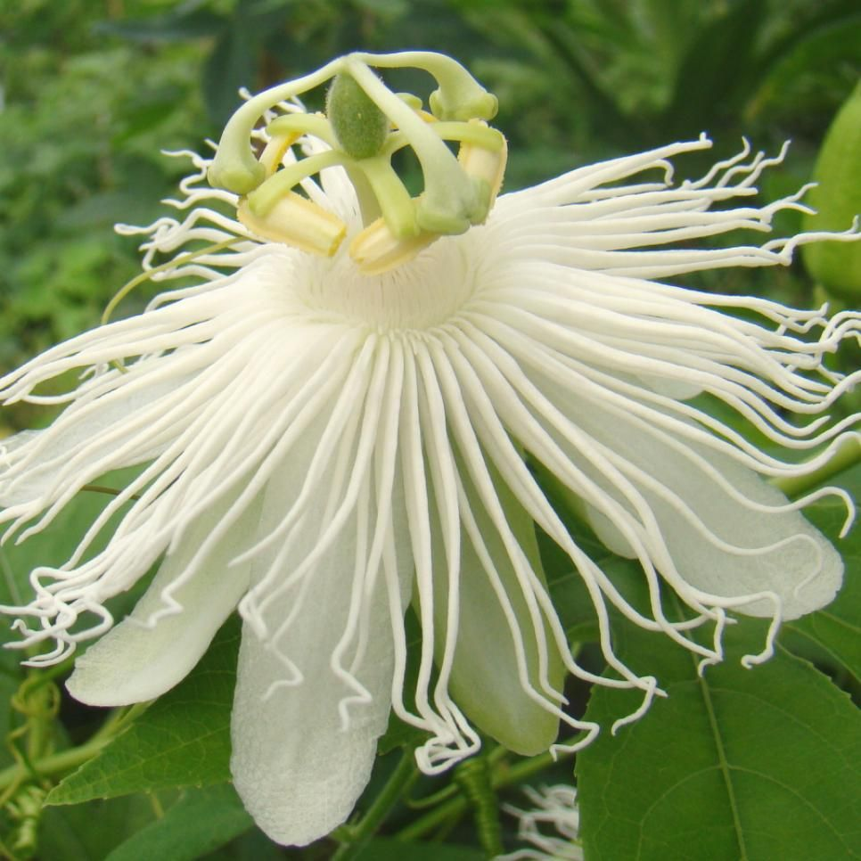 Many Passionflowers Grow Wild In Tropical Regions But Their Flamboyant Flowers Can Also Brighten Your Back Passion Flower Flowering Vines Passion Fruit Flower