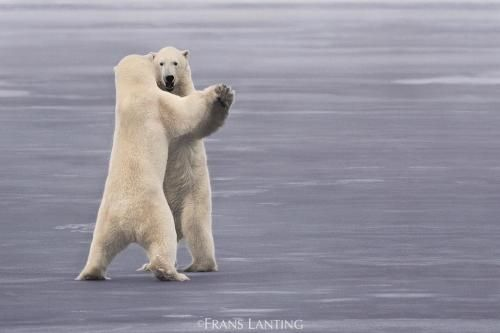 Viaggi: #Photo by #@FransLanting Dancing Bears? It may... (natgeo) (link: http://ift.tt/2dBr3z7 )