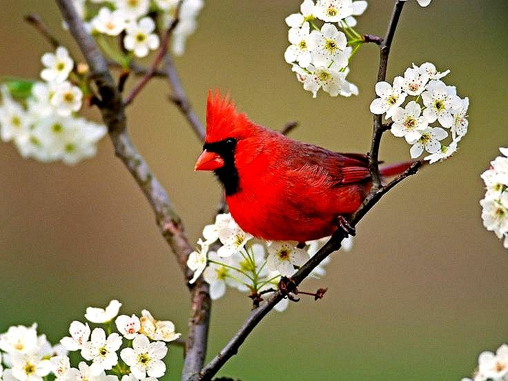 Cardinal on a blooming Dogwood tree.  Cardinals and #Dogwood Trees (Cornus florida) live in North Florida.  Gainesville is a #birdwatching paradise.  www.GainesvilleFloridaHomes.com
