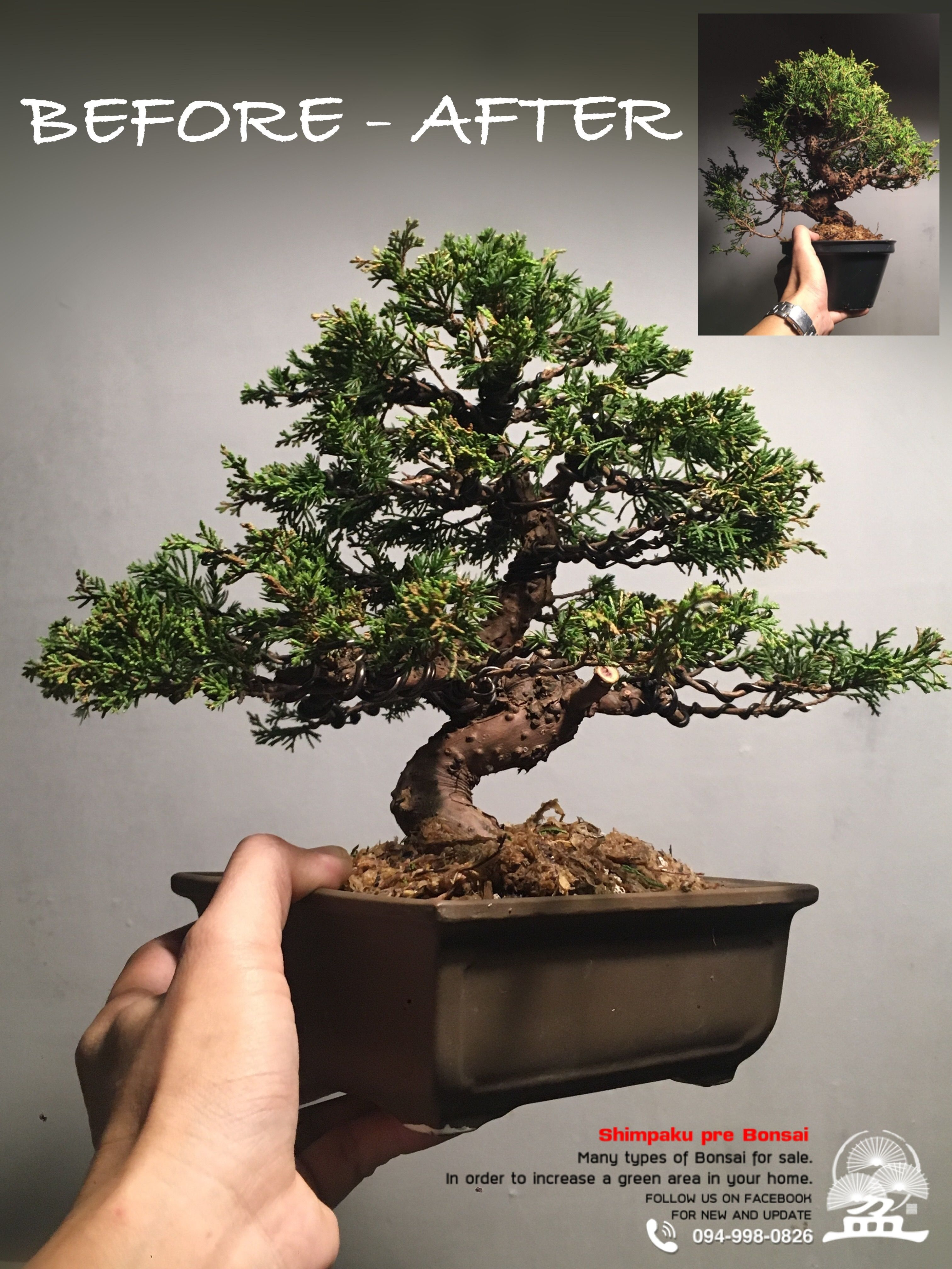 "Itoigawa Shimpaku À¸šà¸à¸™à¹""ซ À¸ªà¸™à¸Š À¸¡à¸›à¸²à¸ Itoigawashimpaku Shohin Bonsai ǜŸæŸ Ǜ†æ½ ·ンパク ßニ盆栽 Bonsai Tree Price Bonsai Bonsai Trees For Sale"
